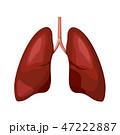 肺 解剖学 器官のイラスト 47222887