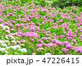 満開の紫陽花 (千葉県茂原市 服部農園あじさい屋敷) 2018年6月 47226415