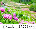 満開の紫陽花 (千葉県茂原市 服部農園あじさい屋敷) 2018年6月 47226444
