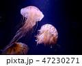 クラゲ 海月 水母の写真 47230271