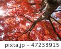 木 樹木 モミジの写真 47233915