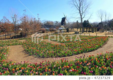 ふなばしアンデルセン公園のアイスチューリップの花めいろと風車(1月)千葉県船橋市 47237329