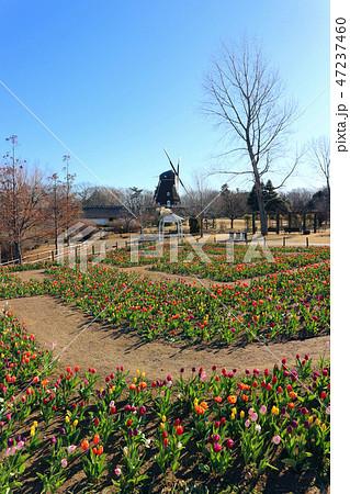 ふなばしアンデルセン公園のアイスチューリップの花めいろと風車(1月)千葉県船橋市 47237460