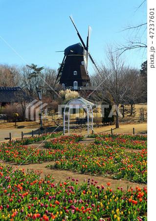 ふなばしアンデルセン公園のアイスチューリップの花めいろと風車(1月)千葉県船橋市 47237601