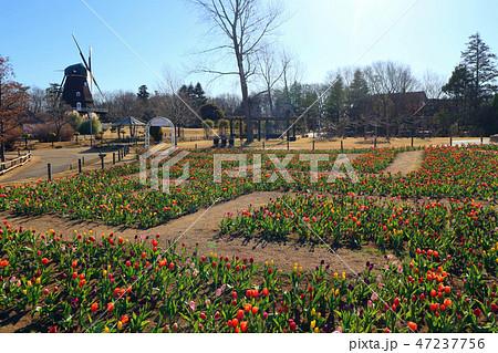 ふなばしアンデルセン公園のアイスチューリップの花めいろと風車(1月)千葉県船橋市 47237756