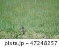 ツグミ 鳥 野鳥の写真 47248257