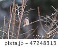 雀 鳥 野鳥の写真 47248313