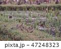雀 鳥 野鳥の写真 47248323
