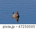 鳥 鴨 ヒドリガモの写真 47250505