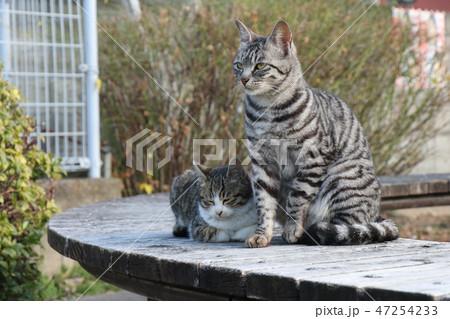 猫の親子 47254233
