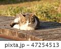 子猫 47254513