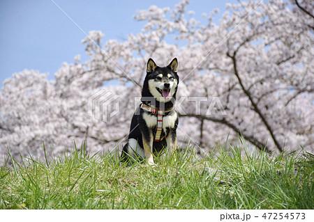 桜と黒柴 47254573