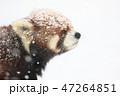 レッサーパンダ 雪 冬の写真 47264851