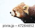 レッサーパンダ 雪 冬の写真 47264852