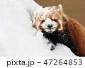 レッサーパンダ 冬 積雪の写真 47264853
