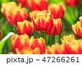 チューリップ チューリップ 庭の写真 47266261