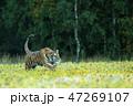 動物 アムールトラ シベリアトラの写真 47269107