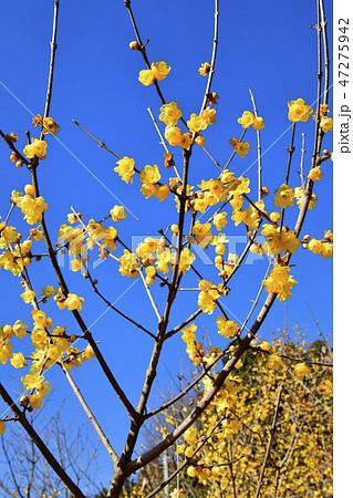 栃木県鹿沼市上永野の蝋梅の里 47275942