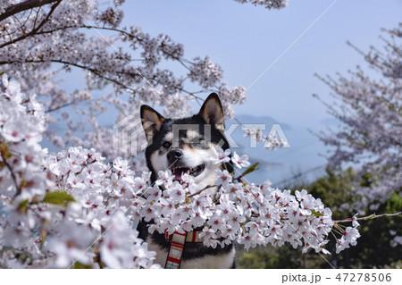 桜と黒柴 47278506