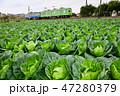キャベツ畑とイモムシ電車 47280379