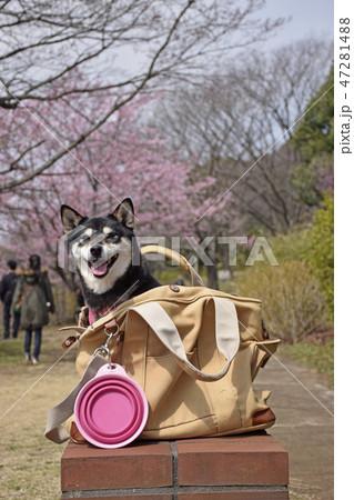 お散歩バックと黒柴 47281488