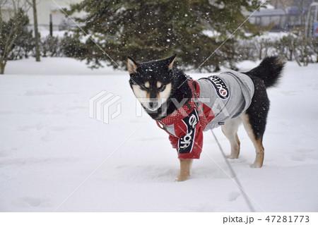雪原の中を進む黒柴 47281773