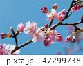 桜 河津桜 開花の写真 47299738