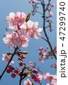 桜 河津桜 開花の写真 47299740