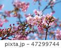 桜 河津桜 開花の写真 47299744