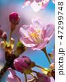 桜 河津桜 開花の写真 47299748