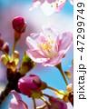 桜 河津桜 開花の写真 47299749