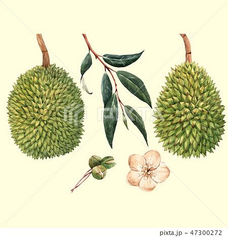Watercolor durian fruit vector illustrtion 47300272