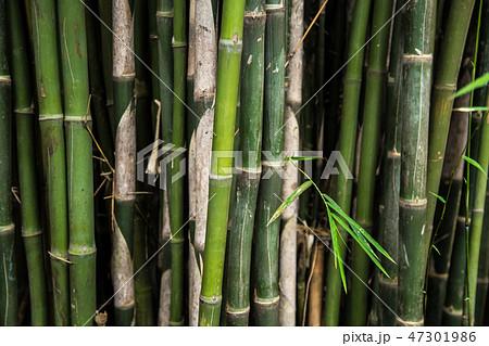 Green Bamboo forest tree of Arashiyama near Kyoto, Japan 47301986