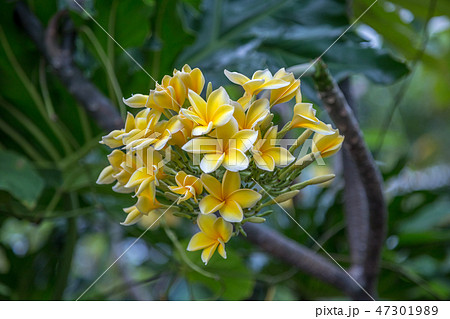 White and yellow plumeria flowers on a tree 47301989