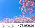 枝垂れ桜 桜 染井吉野の写真 47305989