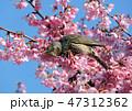 桜 鳥 ヒヨドリの写真 47312362