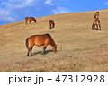 都井岬 馬 冬の写真 47312928