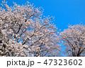 桜 春 染井吉野の写真 47323602