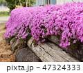 丸太に垂れ咲く芝さくら 47324333