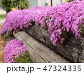 丸太に垂れ咲く芝さくら 47324335