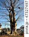 山神社 大木 巨樹の写真 47327497