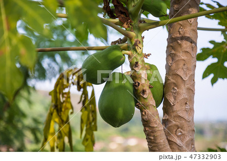 Close Up of many young coconuts on palm tree 47332903