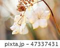 紫陽花 47337431