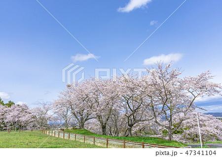 さわやかな宮城の桜 47341104