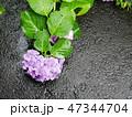 Hydrangea flower on asphalt under the rain 47344704