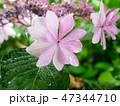 Hydrangea flower under the rain 47344710