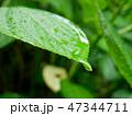 Fresh green hydrangea leaf under summer rain 47344711