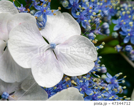 Light blue hydrangea flower close-up 47344712