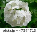 Soft and beautiful white hydrangea flower 47344713