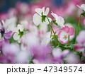 パンジー ビオラ 花の写真 47349574